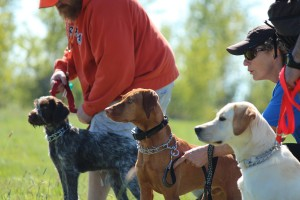 wirehair pointer, vizsla and labrador retriever puppies